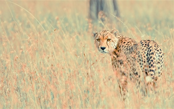 Wallpaper Wildlife, cheetah look back