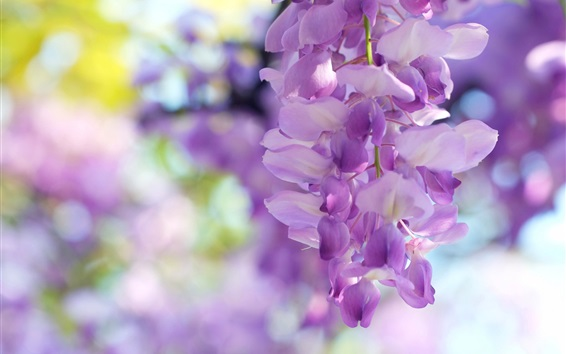 Wallpaper Wisteria flowers, light purple