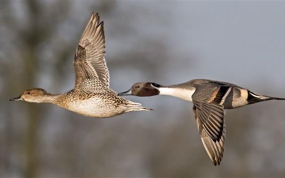Papéis de Parede Um par patos voando