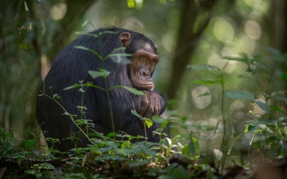 壁紙 アフリカ、チンパンジー、樹木、南ウガンダ、キバレ国立公園