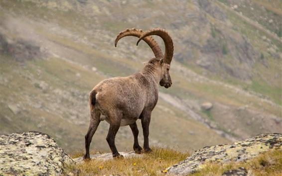 Wallpaper Alpine ibex rear view, horns