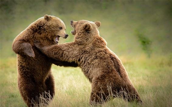 Wallpaper Bears playful in grass