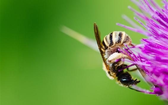 Fondos de pantalla Abeja, flor púrpura, polen