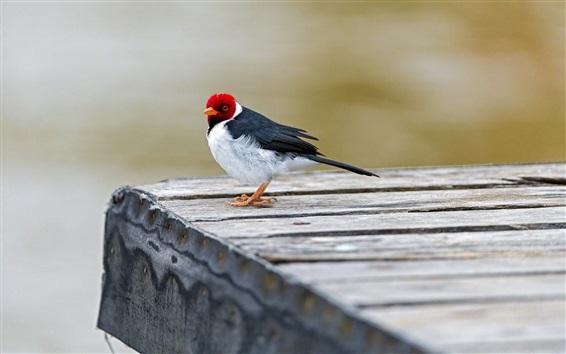Fond d'écran Gros plan d'oiseaux, trois couleurs, rouge, blanc, noir