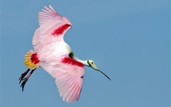 Fond d'écran Vol d'oiseau, plumes rouges blanches, ailes