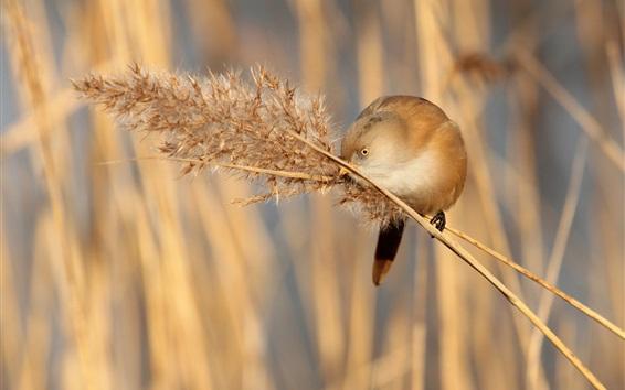 Wallpaper Bird, tits, grass panicle