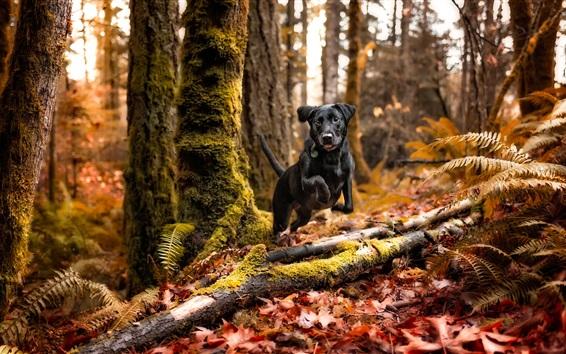 Wallpaper Black dog run in forest, autumn