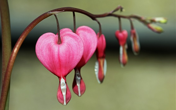 Wallpaper Bleeding heart flowers, pink, macro photography