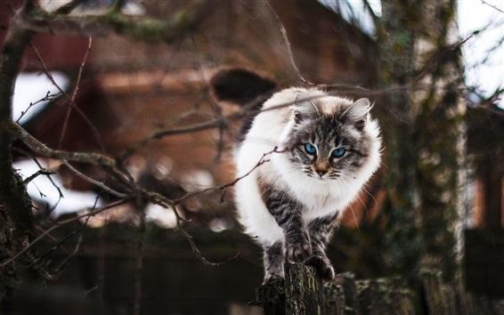 Fondos de pantalla Ojos azules gato frente vista, ramitas
