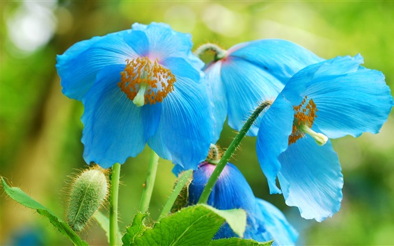 Papéis de Parede Flores azuis macro fotografia