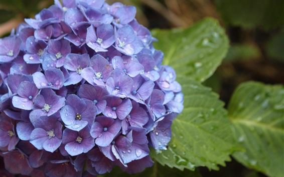 Papéis de Parede Flores azuis do hydrangea, orvalho