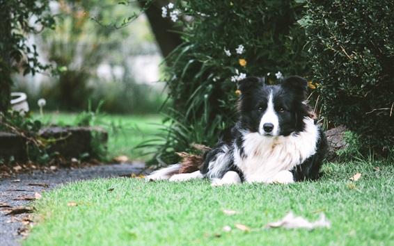 Wallpaper Border collie dog rest under tree