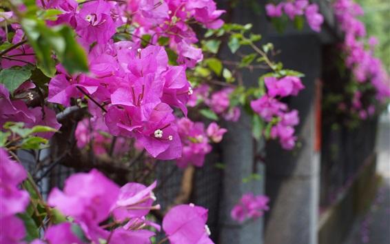 Wallpaper Bougainvillea, purple flowers, fence, bokeh