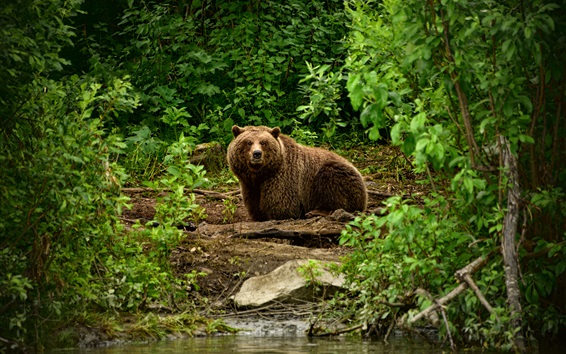 Wallpaper Brown bear, bushes, river