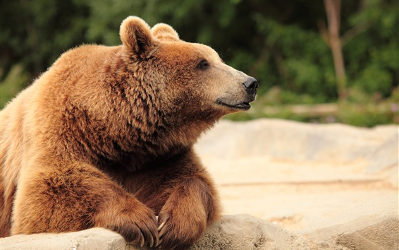 Wallpaper Brown bear, head, paws