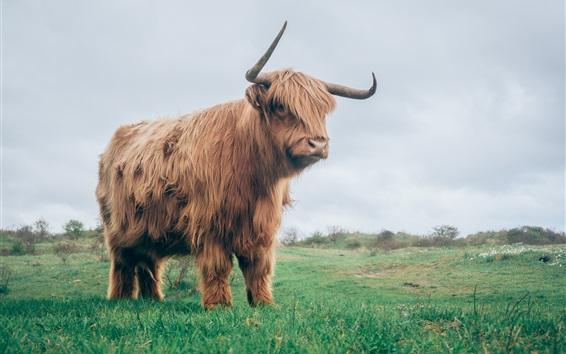 Wallpaper Bull in grass, horns, fur