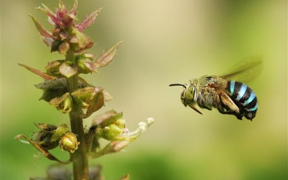 Обои Шмель летит, насекомое крупным планом