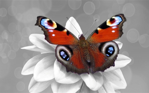 Wallpaper Butterfly and white flower