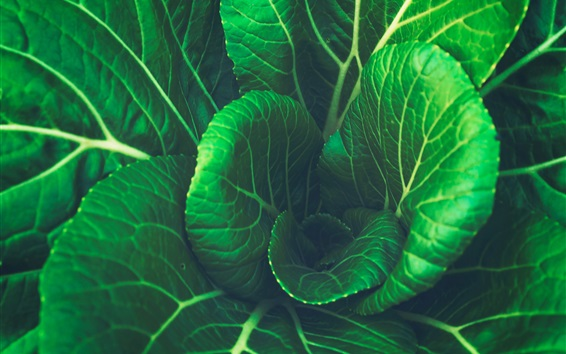 Wallpaper Cabbage, green leaves, vegetable