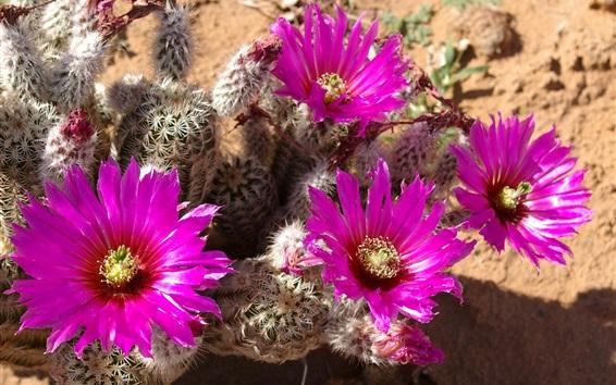 Обои Кактусовые розовые цветы, игла, пустынные растения