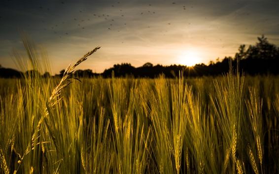 Fond d'écran Céréales, champ de seigle, coucher de soleil