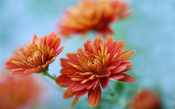 Wallpaper Chrysanthemums close-up, orange flowers
