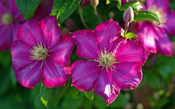 Wallpaper Clematis pink flowers macro photography
