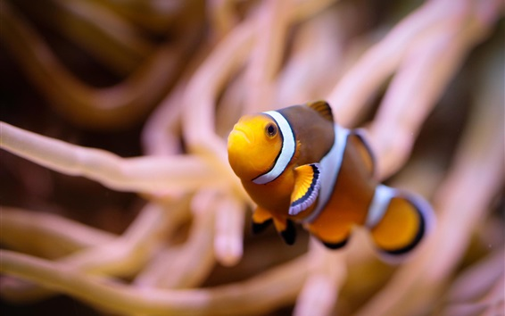 Clown fish, underwater Wallpapers | Animals and Birds | HD ...