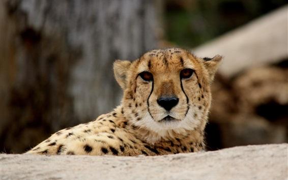 Wallpaper Cute cheetah, predator, face