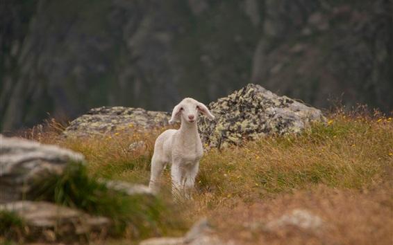 Wallpaper Cute lamb, sheep, grass, mountains