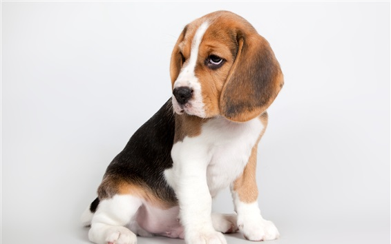 Fond d'écran Chiot mignon, beagle s'asseoir