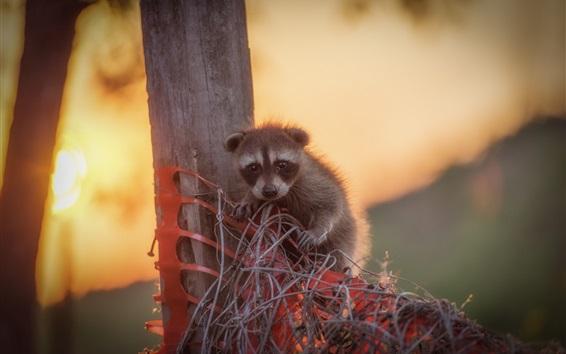 Fondos de pantalla Bebé lindo del mapache