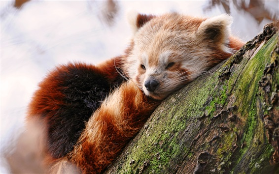 Wallpaper Cute red panda sleep in tree