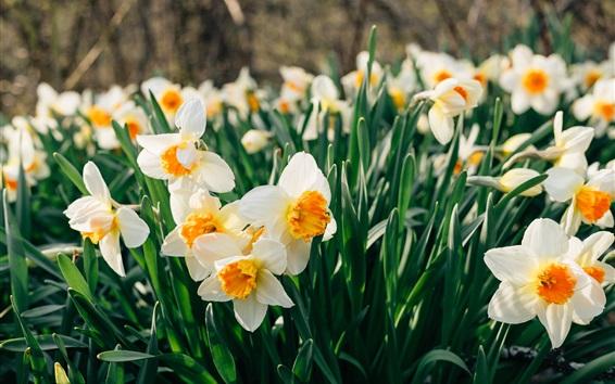 Fond d'écran Champ de fleurs de jonquilles, pétales blancs