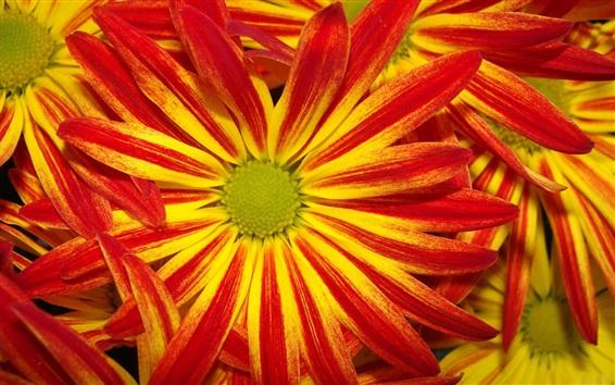 Papéis de Parede Margaridas, close-up, amarela, vermelho, pétalas