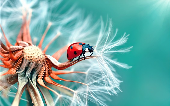 Wallpaper Dandelion and ladybug macro photography