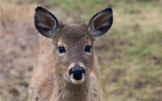Papéis de Parede Cervos, frente, vista, orelhas, olhar