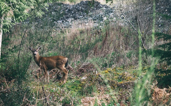 Papéis de Parede Deer fotografia, grama