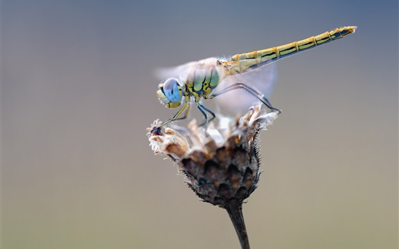 Fond d'écran Libellule et fleur sèche