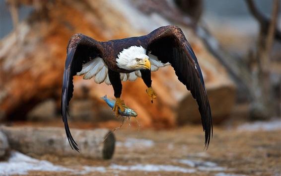 Wallpaper Eagle catch a fish