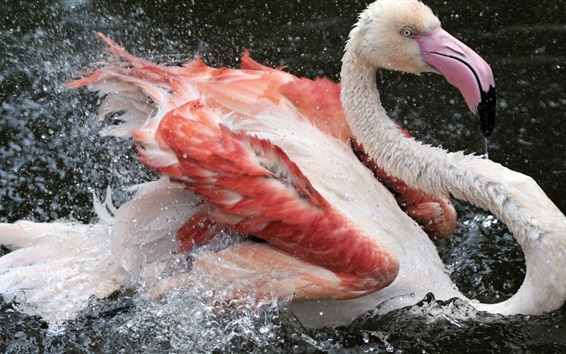 Wallpaper Flamingos swim