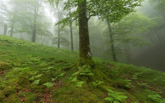 Обои Лес, деревья, мох, туман