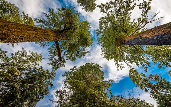 Wallpaper Forest, trees, sky, clouds, view from bottom