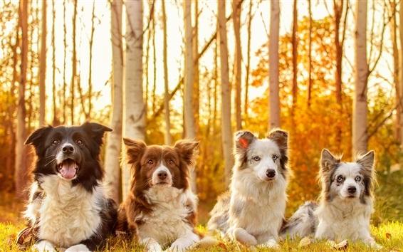 Fond d'écran Quatre chiens en automne, herbe, arbres, soleil
