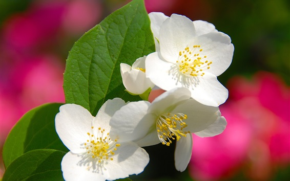 Papéis de Parede Quatro pétalas de flores brancas