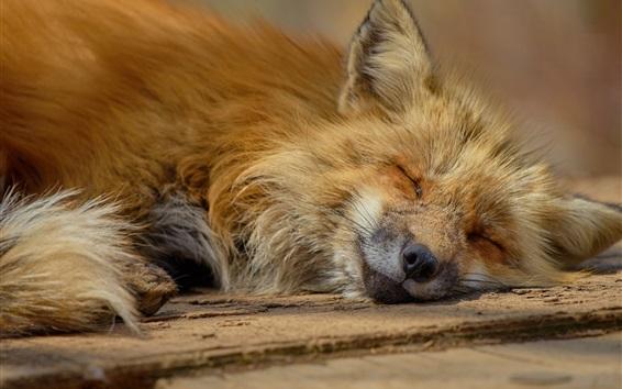 Wallpaper Fox fall in sleep