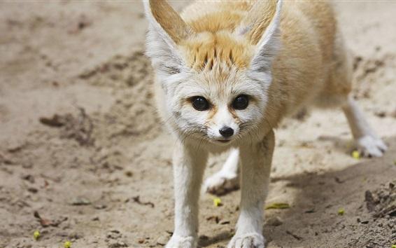 Papéis de Parede Fox olha para você