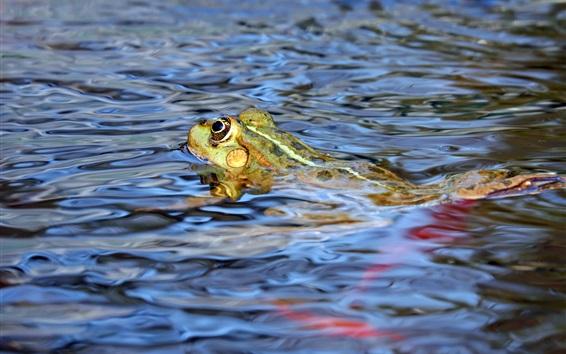 배경 화면 개구리는 물에서 수영한다.
