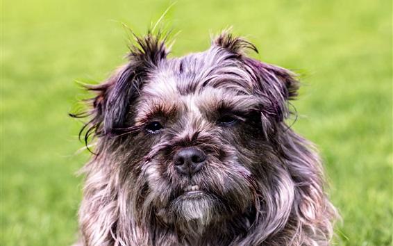 Wallpaper Furry dog face, grass