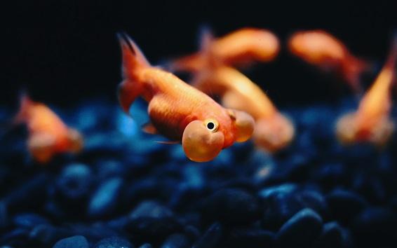 Wallpaper Goldfish underwater, bubble, stones